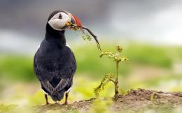 Atlantic Puffin Bird Desktop Wallpapers 1122