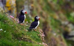 Atlantic Puffin Bird Desktop Wallpapers 311