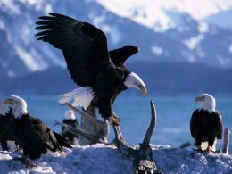 Bald Eagle Desktop Wallpapers 333