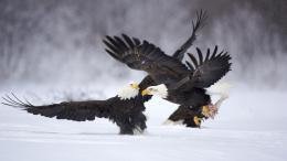 Wallpaper Abyss Explore the Collection Birds Eagles Bald Eagle 416273 153