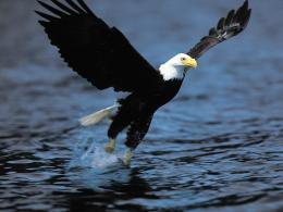 Bald Eagle Desktop Wallpapers 786