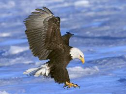 Bald Eagle Desktop Wallpapers 223