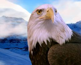 Bald Eagle HD Wallpaper Bald Eagle Images Free New Wallpapers 363