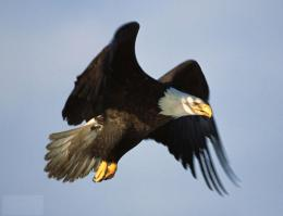Bald Eagle Desktop Wallpapers 1597