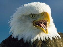 bald eagle high definition wallpapers best desktop background pictures 578
