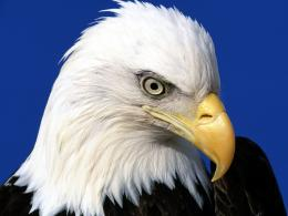 Bald Eagle Desktop Wallpapers 668