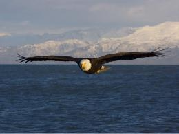bald eagle high resolution wallpapers beautiful desktop background 1519