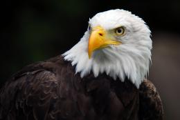 birds bald eagle desktop image american eagle hd wallpapers 1858