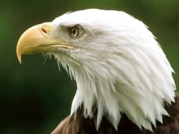 bald eagle high resolution wallpapers beautiful desktop background 511