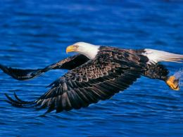 Bald Eagle Desktop Wallpapers 1542