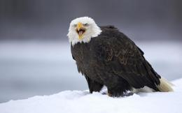com Download 290 1280x800 angry alaskan bald eagle desktop wallpaper 1956