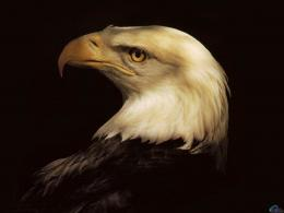 Download wallpaper Head of Bald Eagle: 1997