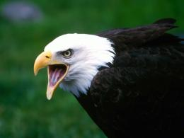 Bald Eagle Desktop Wallpapers 455