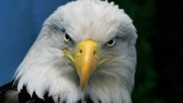 bald eagle high resolution wallpapers best desktop background pictures 1024