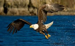 Eagle hunting fish top wallpapers for desktop backgrounds 1140
