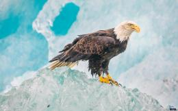 Wallpaper Bald Eagle1440 x 900 widescreenDesktop wallpapers 1146