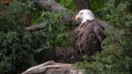 1366x768 American Bald Eagle desktop PC and Mac wallpaper 1347