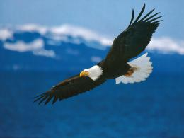 Bald Eagle Desktop Wallpapers 1609
