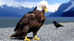 bald eagle high definition wallpapers best desktop background pictures 1736