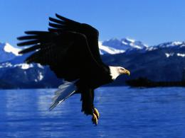 Bald Eagle Desktop Wallpapers 790
