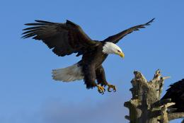 Bald Eagle Desktop Wallpapers 1073