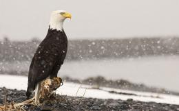Bald Eagle HD Wallpapers 2012 1092