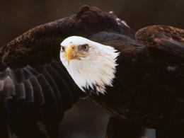 Bald Eagle Desktop Wallpapers 1576