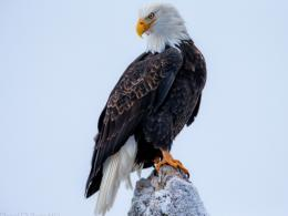 Bald Eagle Desktop Wallpaper Pictures 1868