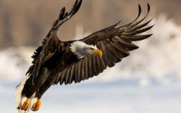 Animal Majestic Bald Eagle Wallpaper 1920×1200 1090