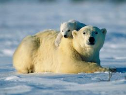 bears wallpapers hd bear wallpaper 9 arctic polar bear and young bear 1978