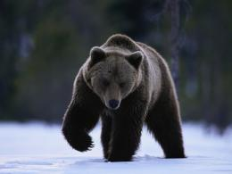 black bear hd wallpapers new best bear images widescreen 463