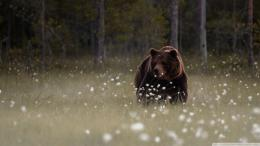 Tags: Forest Bear Wallpaper 1080p HD 360