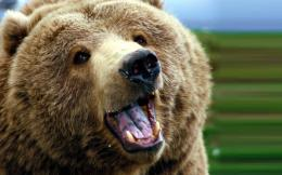 Grizzly Bears High Definition HD Wallpaper 1145