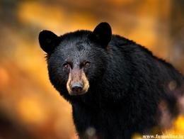 Black Bear HD Wallpaper 1364