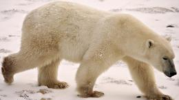 in ice Polar Bear HD Wallpapers 234