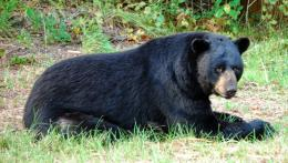 Black Bear Animal HD Wallpapers 1216