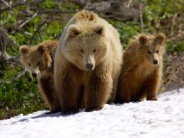 desktop bears wallpapers hd bear wallpaper 1 brown bears and cubs jpg 713
