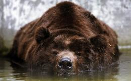 Bathing Bear Wallpapers Pictures Photos Images 1782