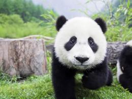 Panda Bears HD Wallpapers 1223