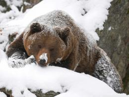 Grizzly Bear In The Snow HD Image Wallpaper 1999