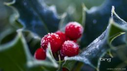 Tags: Berries , Holly , Frosted , 1662