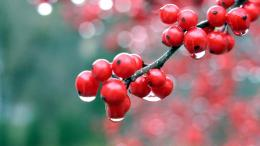 Wallpaper berries berries 1366x768 HD Wallpaper Jootix Wallpapers 297