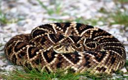 Free picture » Reptiles » snakes » big snake wallpapers hd 788
