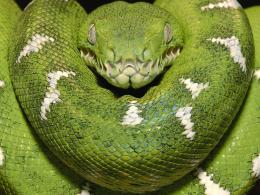 is under the snake wallpapers category of free hd wallpapers big snake 134
