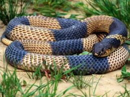 big snakes latest hd wallpapers 2013 big snakes latest hd 545