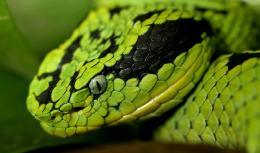 download Asian Snake HD Wallpaper 263