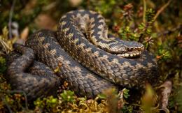 big snake desktop wallpapers big snake images big yellow snake 596