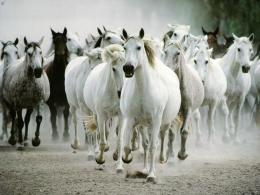 black and white horses hd desktop free animals wallpaper 491