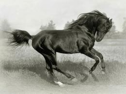 black horse Black+Horse+desktop+wallpaper jpg 551