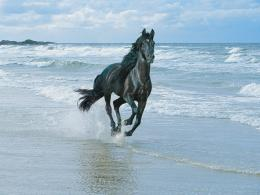 HD Wallpapers » 1024x768 » Animals » Black Horse And Sea Free HD 659